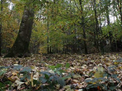 A forest scene photographed from near the ground, showing tall trees and an abundance of autumn leaves