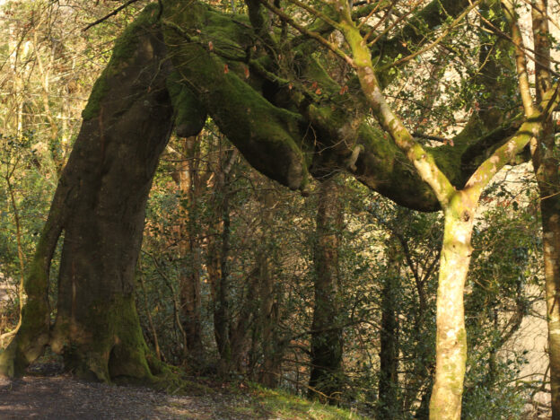 A photograph of a tree that has a large bend in it, about 2 metres from the ground, where it starts to grow nearly horizontally. It is in a forest, surrounded by other trees, and the water of a lake is barely visible in the background.